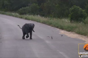 Baby elephant-Kruger sightings