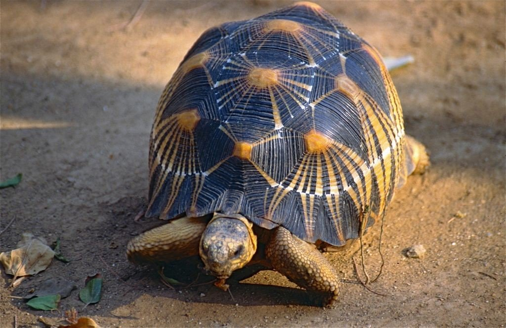 Madagascar- Radiated Tortoise-By Bernard DUPONT- CC by SA 2.0 via Flickr - 1024 x 664