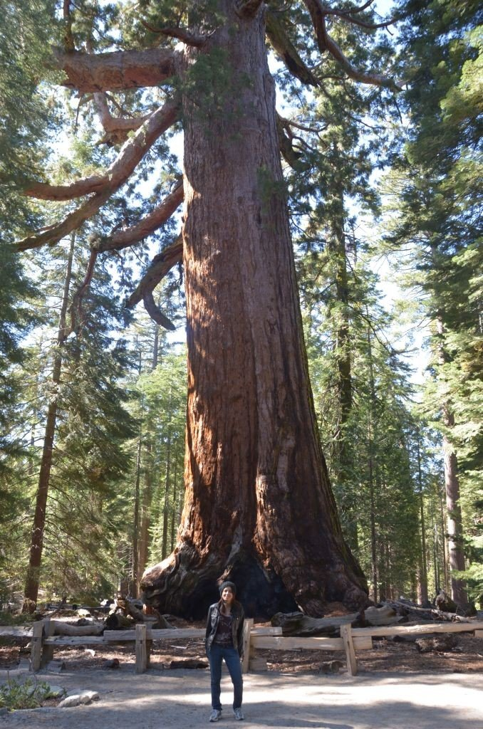 Mariposa grove, Sequoia tree. Photo: Mitali Mahajani