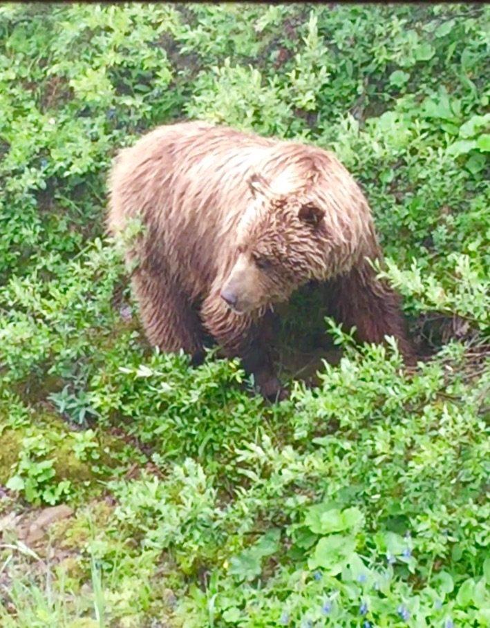 Bear at Denali National Park