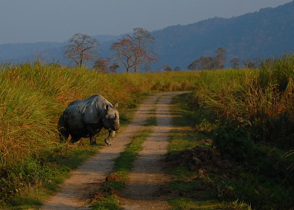 India-Thailand highway. Rhino in Kaziranga National park