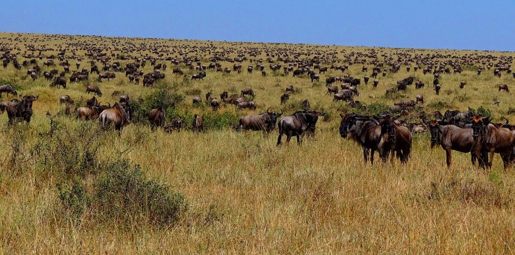 Wildebeest during Great Migration safari adventure