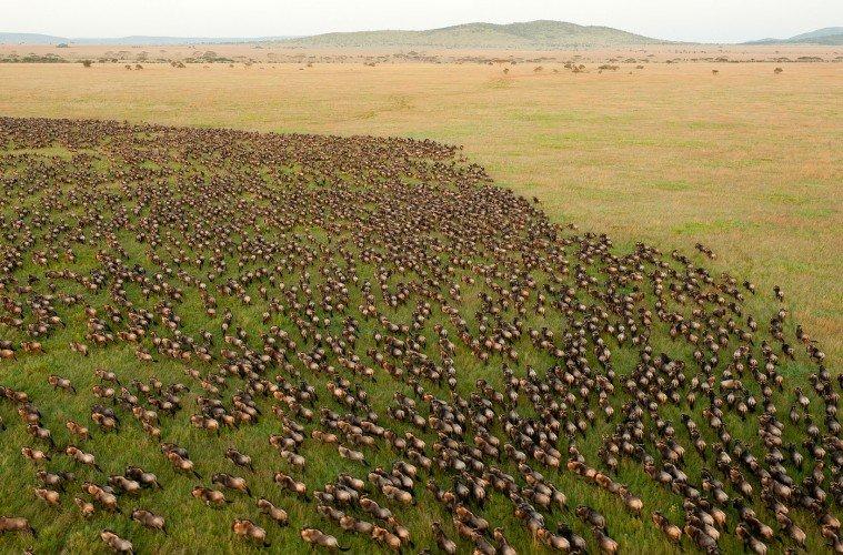 Wildebeest Migration in Serengeti, Tanzania.