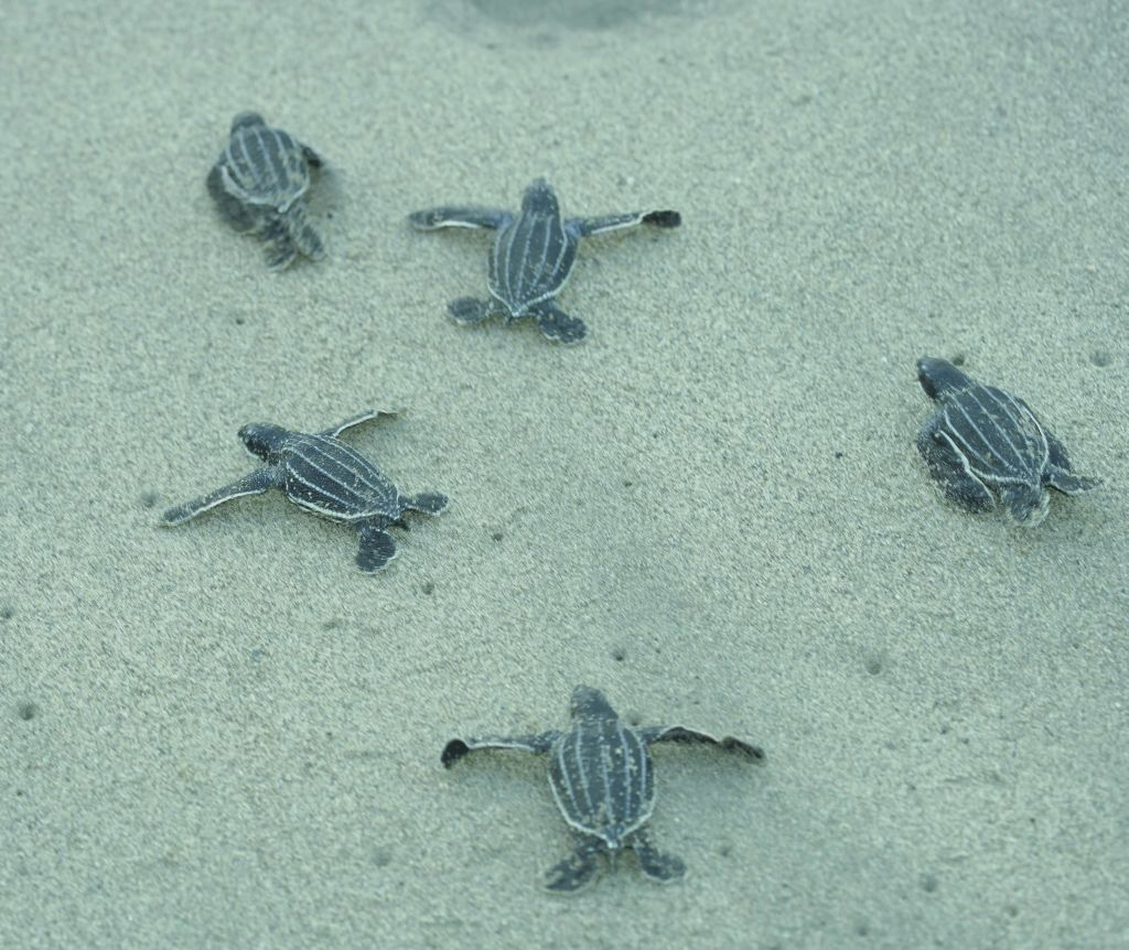 Baby Leatherback Turtles High Res -TDC - 1024 x 862