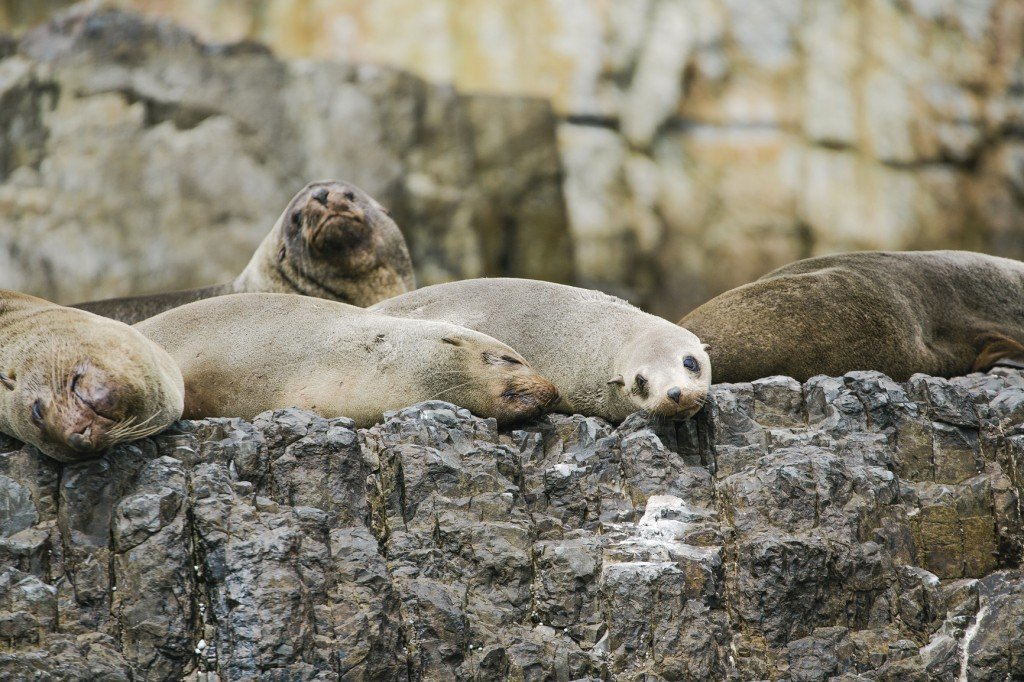 Tasmania Three Capes track seals