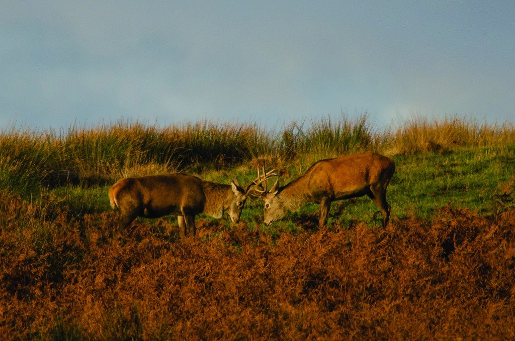 Red deer stags in autumn in Exmoor National Park. Photo: Nigel Stone/ http://www.exmoor-nationalpark.gov.uk/