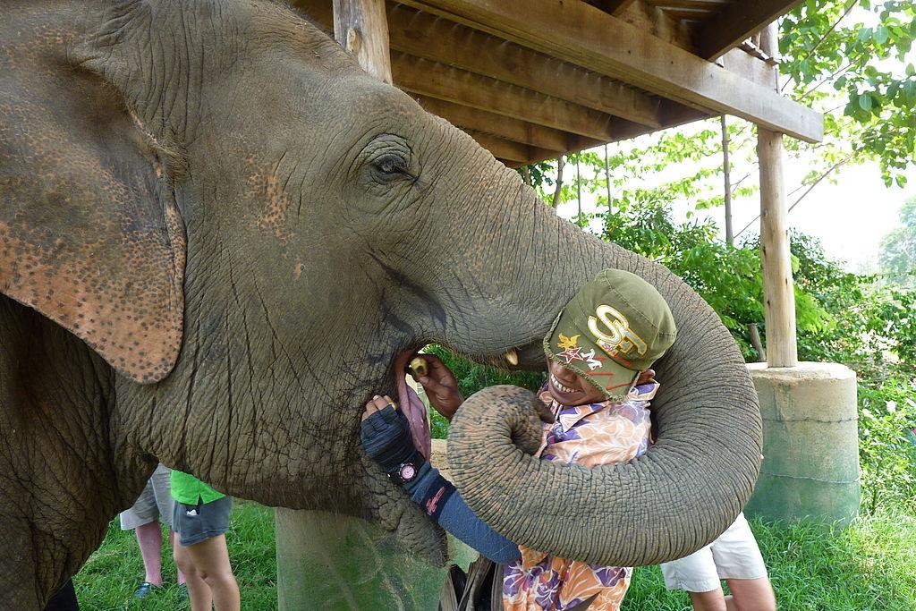 A mahout feeds and elephant at Elephant Nature Park. Photo: Adbar/ CC BY-SA 3.0 via Wikimedia Commons