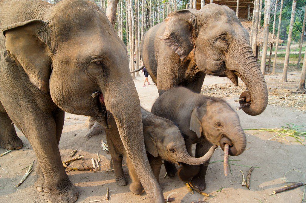 5 Amazing Elephant Sanctuaries in Asia for Visiting & Volunteering - Ecophiles