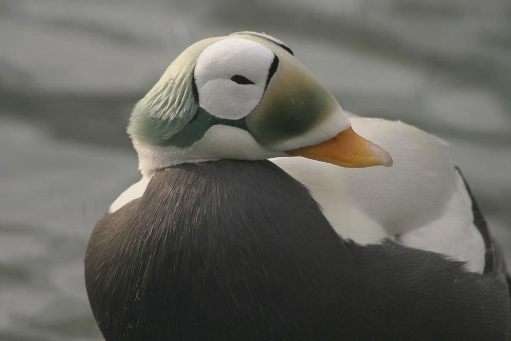 Alaska-Spectacled eider male-U.S. Fish and Wildlife Service. Photo by Laura L. Whitehouse-CC 2.0 Flickr