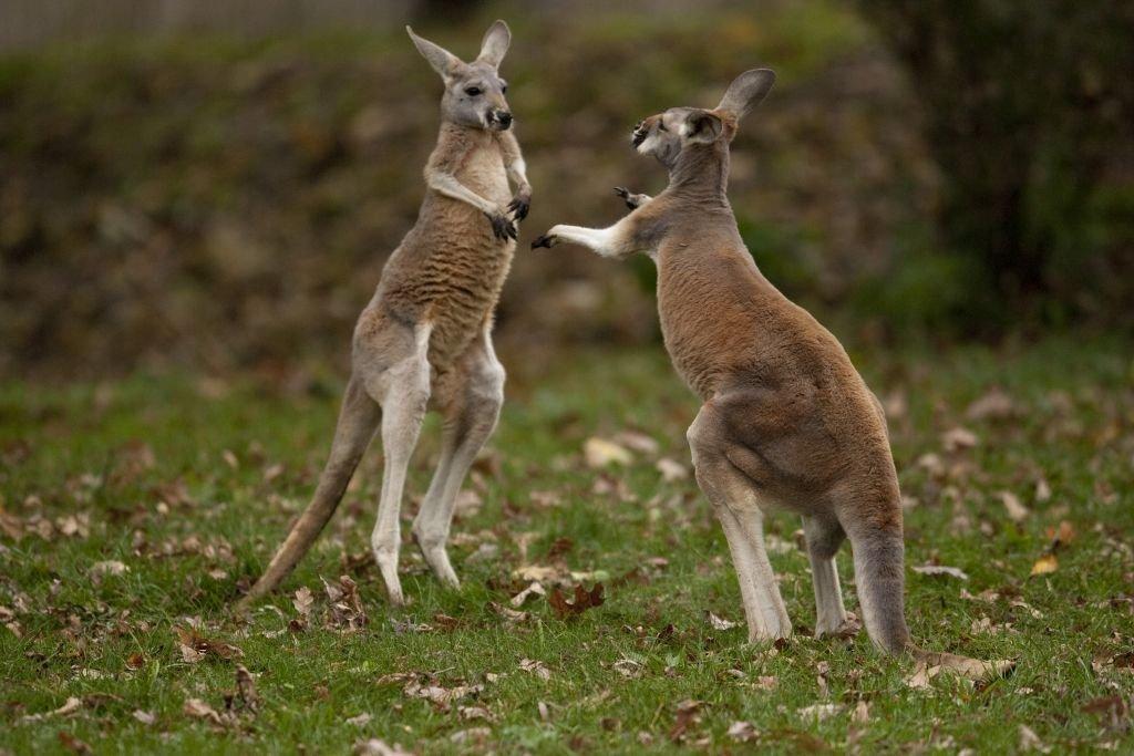 Australia-Kangaroo Boxing. Photo by Scott Calleja-CC 2.0 via Flickr