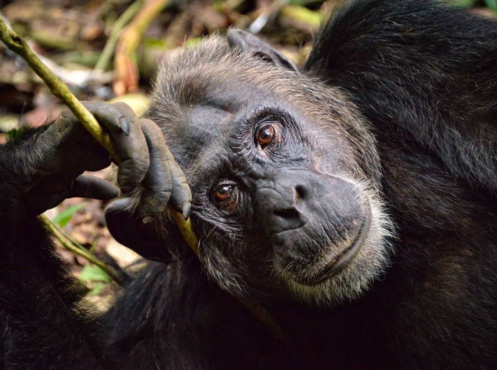 Chimp, Kibale, Uganda Photo: Rod Waddington-CC 2.0 via Flickr
