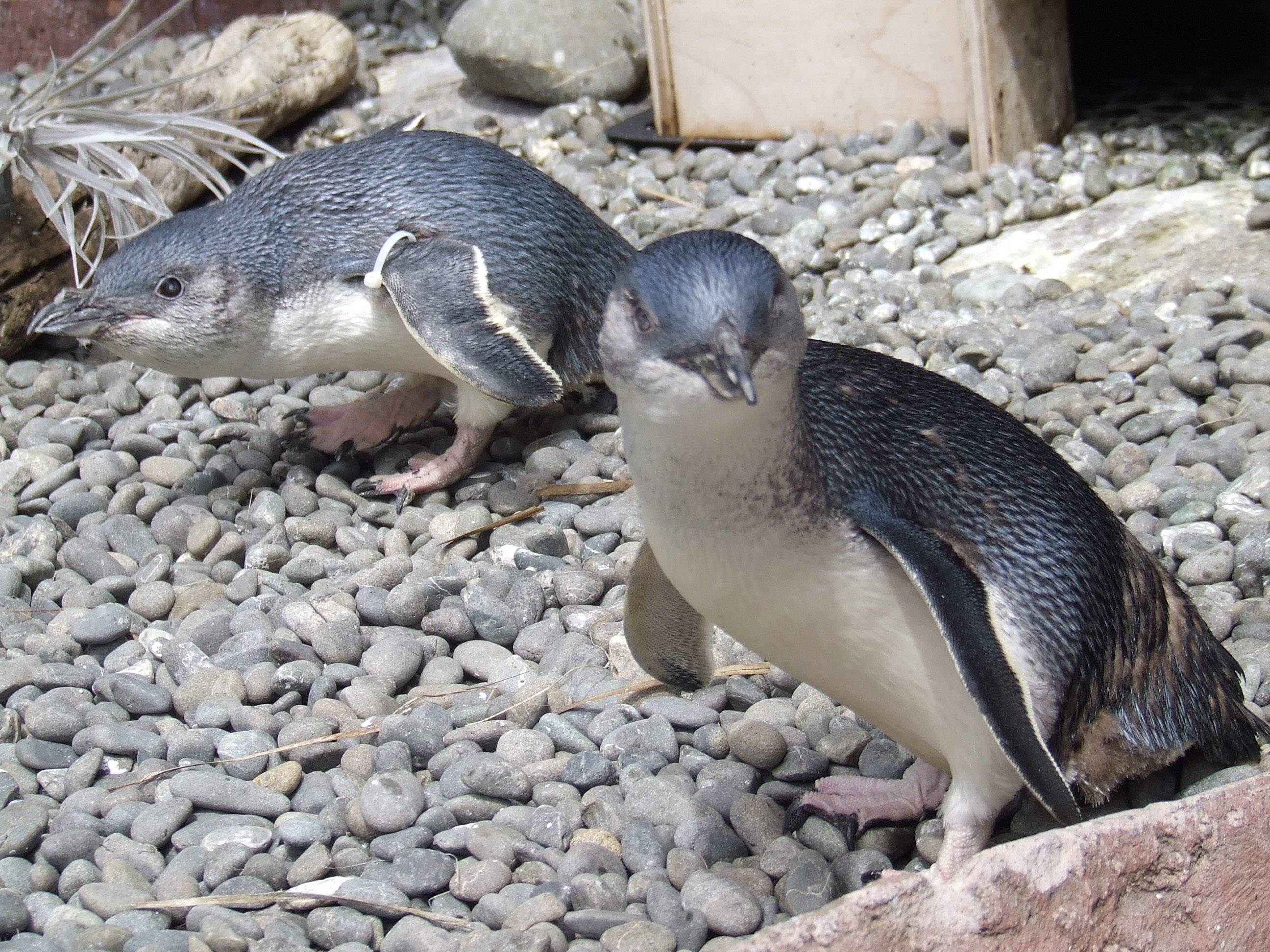 Happy Feet: Toto is the Oldest Blue Penguin in the World - Ecophiles