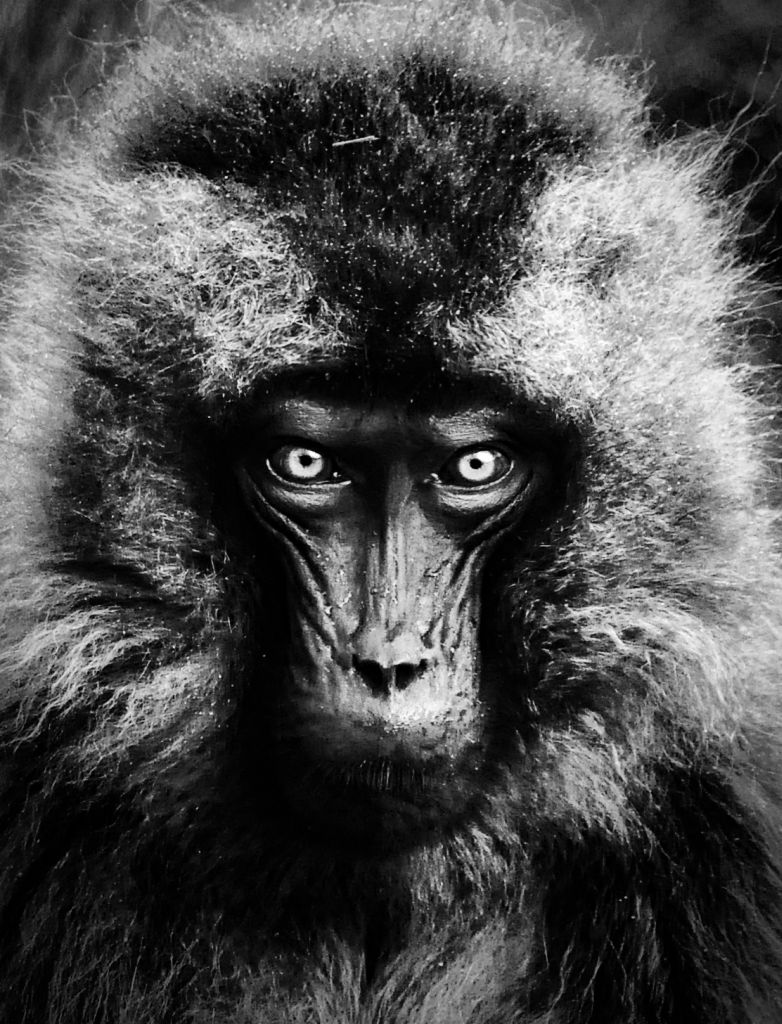 Gelada Baboon, Simien, Ethiopia-Photo by Rod Waddington-CC 2.0 via Flickr