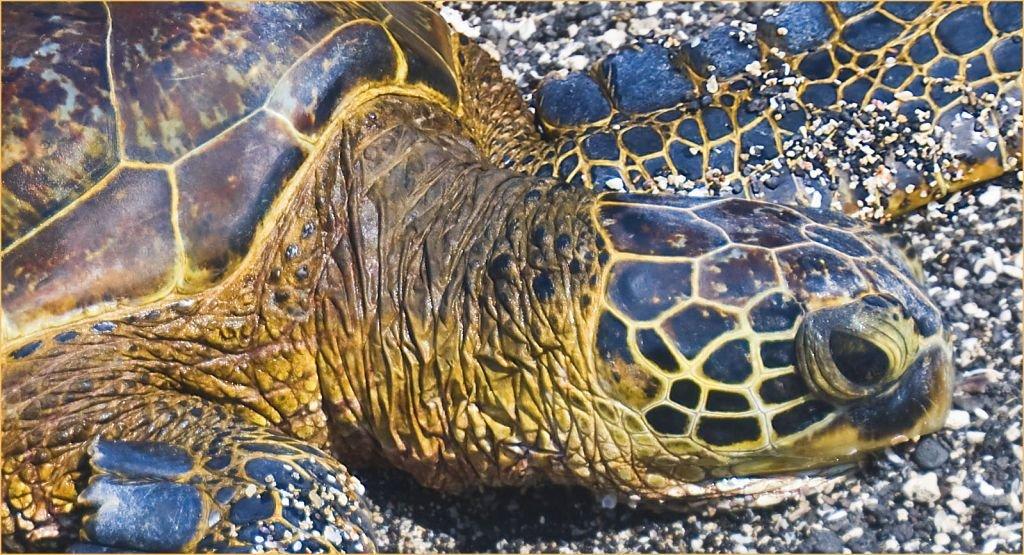 Green Sea Turtle-Kahalu'u Beach Park Kailua-Hawaii. Photo by Ron Cogswell-CC 2.0 via Flickr
