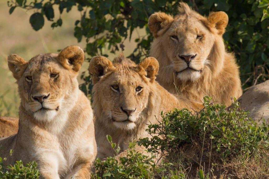 Lion family-Masai Mara-Kenya. Photo: Benh Lieu Song-CC 2.0 via Flickr