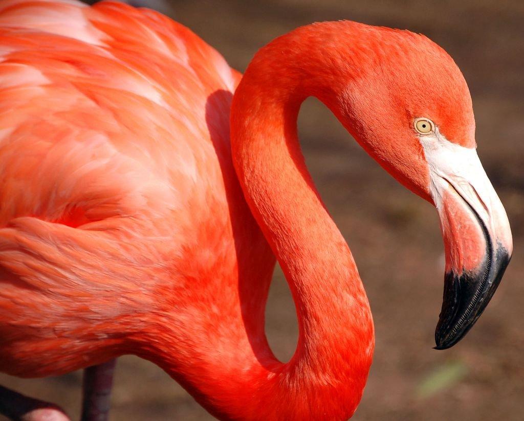 Pink Flamingo. Photo: Art G.-CC 2.0 via Flickr