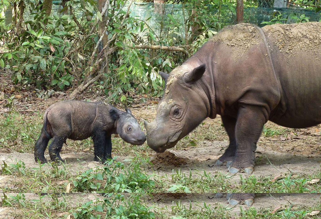 Ratu and Andatu-Rhinoceros mama and baby-Courtesy International Rhino Foundation. Photo by S. Ellis