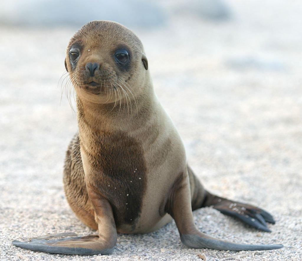 Sea Lion Pup-Galapagos Islands. Photo by Dag Peak-CC 2.0 via Flickr