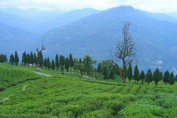 India Sikkim Temi_Tea_Garden_Ravangla organic farming