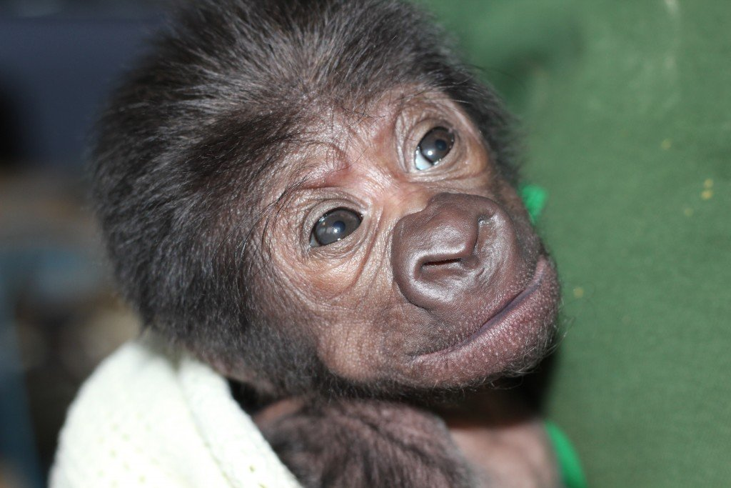 UK Female gorilla born at Bristol Zoo 12022016 (4)