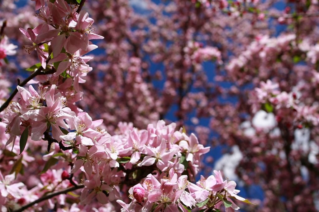 Apple blossom flowers_-West Virginia - Photo by ForestWander-CC by SA-3.0 via Wikimedia-Commons
