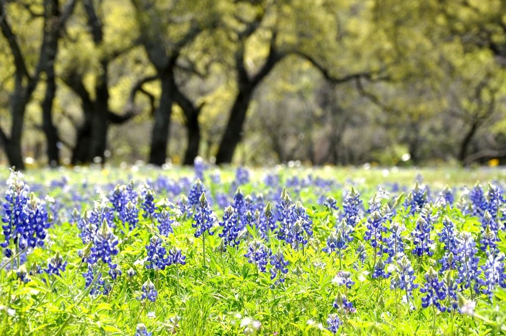 Texas Bluebonnets- Photo by Theodore Scott CC2.0 via Flickr
