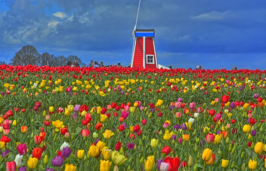 Wooden Shoe Farms tulip festival - Photo by Kirt Edblom CC2.0 via Flickr
