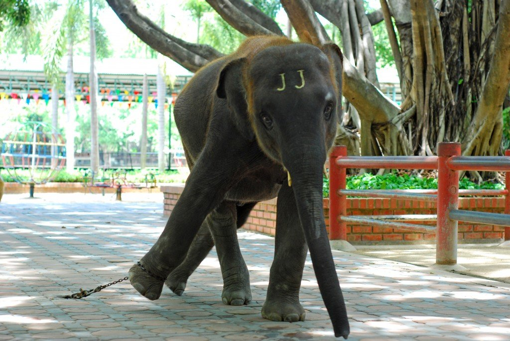 Elephants are subjected to cruel practices from infancy. Photo: World Animal Protection