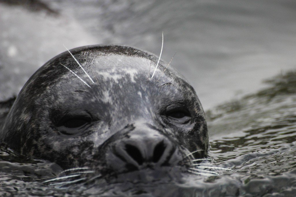 seal in Denmark Photo: Susanne Nilsson via Flickr