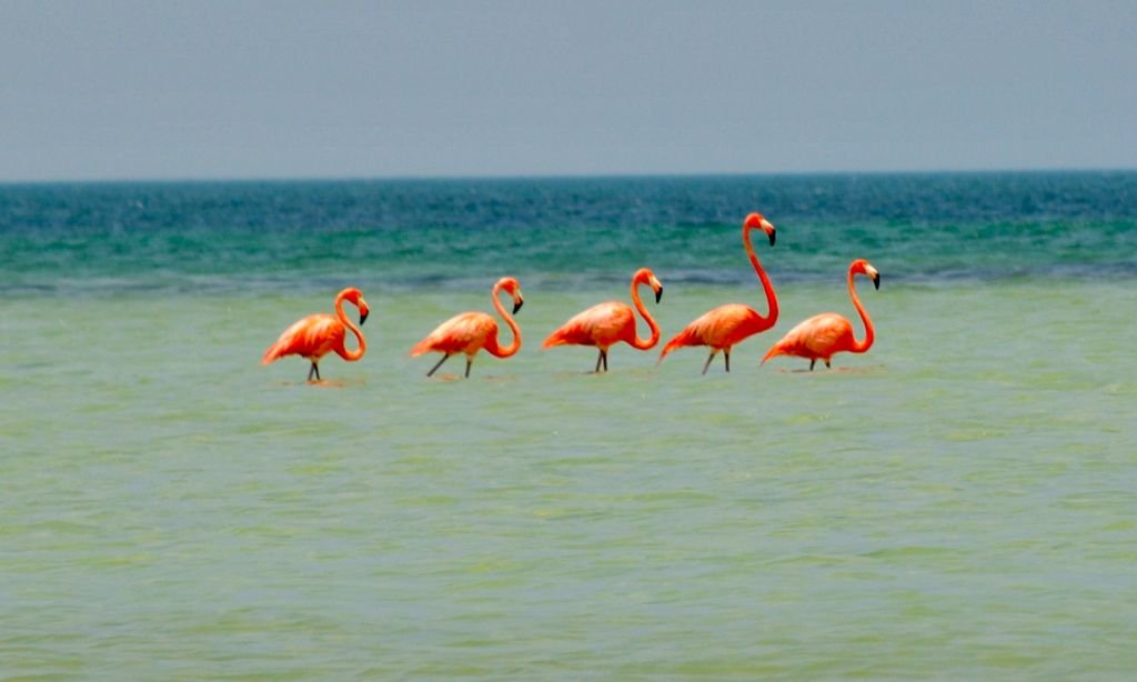 Mexico Holbox- Wild Flamingos-By Raq_escobar-CC 2.0 viia Flickr - 1024 x 614
