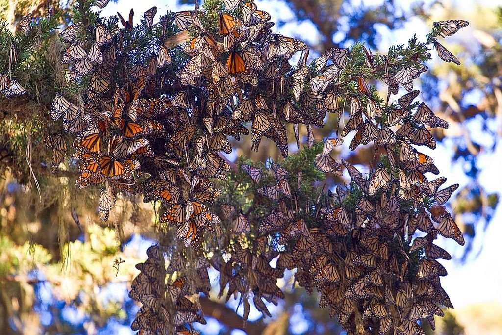 Monarch-butterflies-pacific-grove-By Agunther - CC BY 3.0 via commons - 1024 x 683
