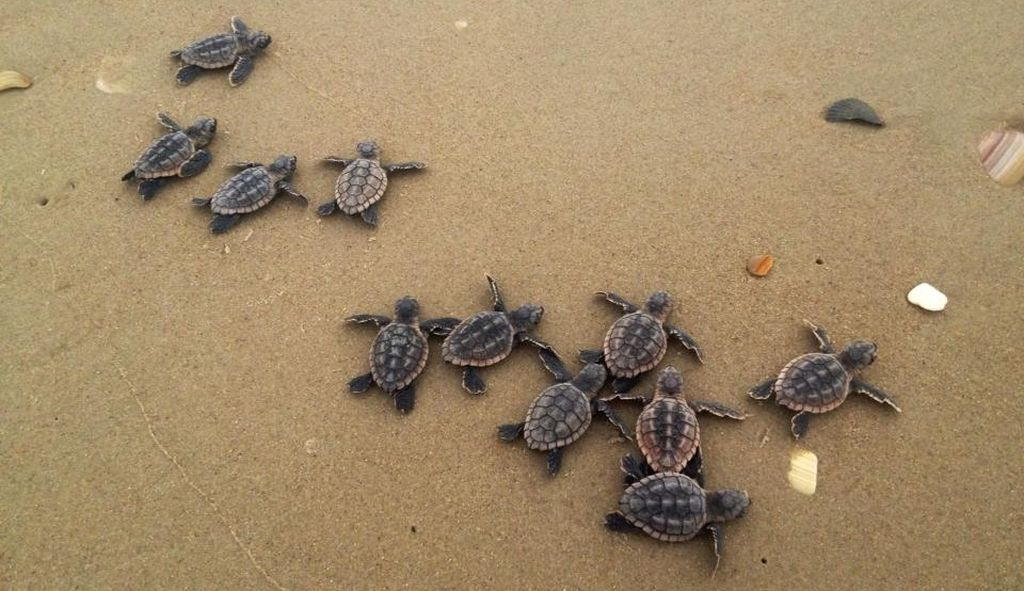 Sea Turtles-By Dawn Childs, USGS- CC via Flickr - 1024 x 591