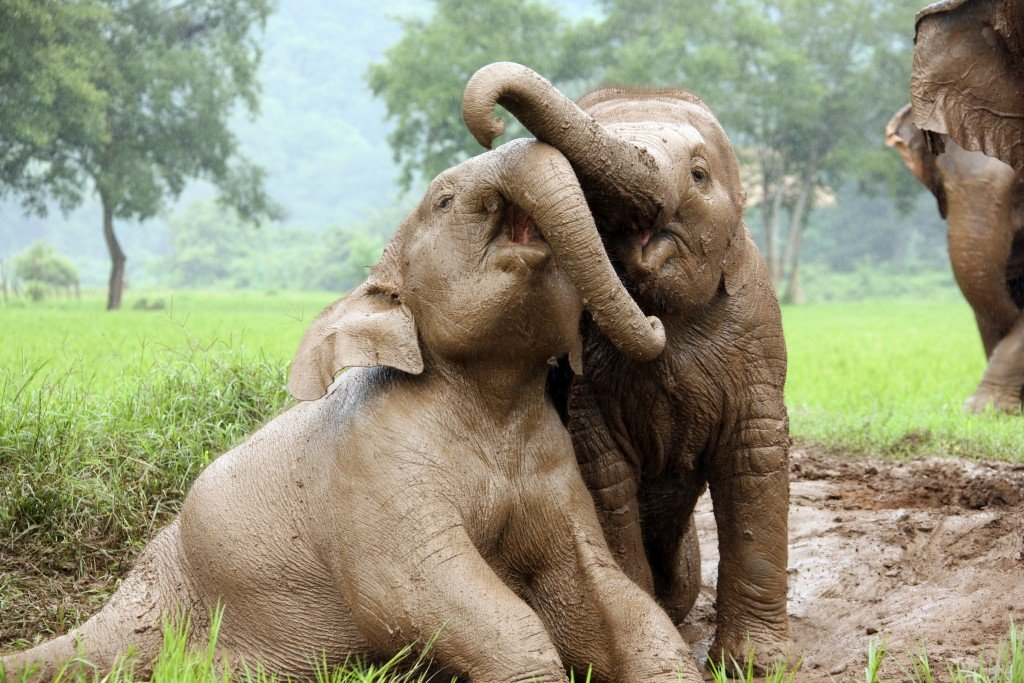 Watch elephants play at Elephant Nature Park in Thailand