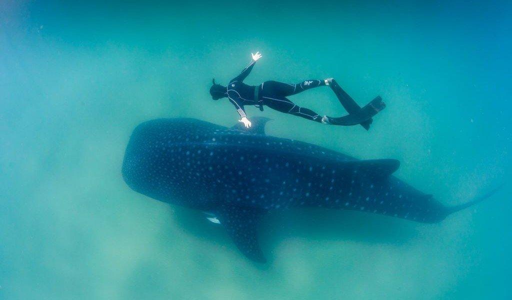 Whale_Shark_and_Freediver-By Feefiona123 CC BY-SA 4.0 ia Wikimedia Commons - 1024 x 683