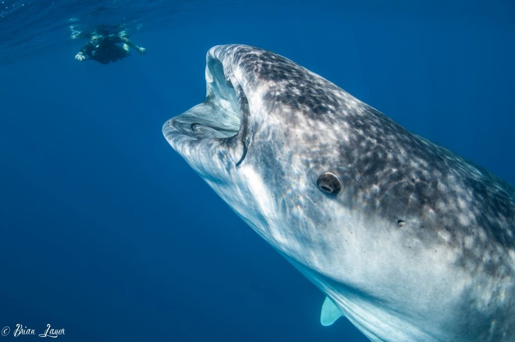 Whale Sharks in Isla Mujeres-Photo by Brian Lauer-CC2.0 via Flickr