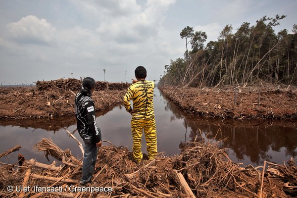 Activists from Greenpeace and Walhi bear witness to active clearance and drainage of peatland rainforest in PT Asia Tani Persada. The Sinar Mas group affiliated concession, which contains orang-utan habitat, is a supplier of pulpwood to Asia Pulp and Paper (APP). Greenpeace is calling on Indonesian citizens to be part of the 'Tigers Eye Community', to protect the Indonesian forest from destruction. Greenpeace is urging the government to take immediate action to protect the habitat by expanding moratorium areas, evaluate existing permits and implement full peatland forest protection.