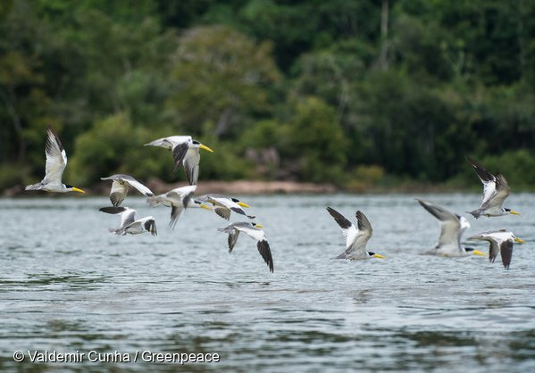 Birds flying over the Tapajós river, next to Sawré Muybu Indigenous Land, home to the Munduruku people, Pará state, Brazil. Brazilian Government plans to build 43 dams in the Tapajós river basin. The largest planned dam, São Luiz do Tapajós, will impact the life of indigenous peoples and riverside communities. Mega-dams like these threaten the fragile biome of the Amazon, where rivers are fundamental to regeneration and distribution of plant species and the survival of local flora. Renewable energy, such as solar and wind, holds the key to Brazil's energy future. Pássaros sobrevoando o Rio Tapajós, na região da Terra Indígena Sawré Muybu, do povo Munduruku, no Pará. O governo brasileiro planeja construir 43 hidrelétricas na bacia do Tapajós. A maior delas, São Luiz do Tapajós, terá impacto sobre a vida dos povos indígenas e comunidades ribeirinhas. Barragens como essas ameaçam o frágil bioma da Amazônia, onde os rios são fundamentais para a regeneração e distribuição de espécies vegetais e a sobrevivência da flora local. Energias renováveis, como solar e eólica, detêm a chave para o futuro energético do Brasil. Itaituba, Pará. 28/02/2016. Foto: Valdemir Cunha/Greenpeace.