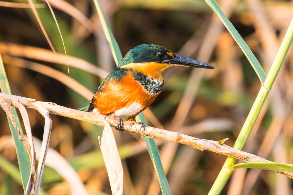 The American Pygmy Kingfisher on Osa Peninsula