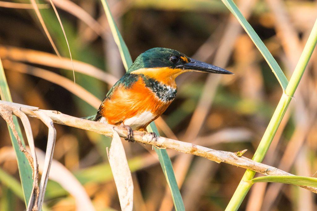 The American Pygmy Kingfisher on Osa Peninsula