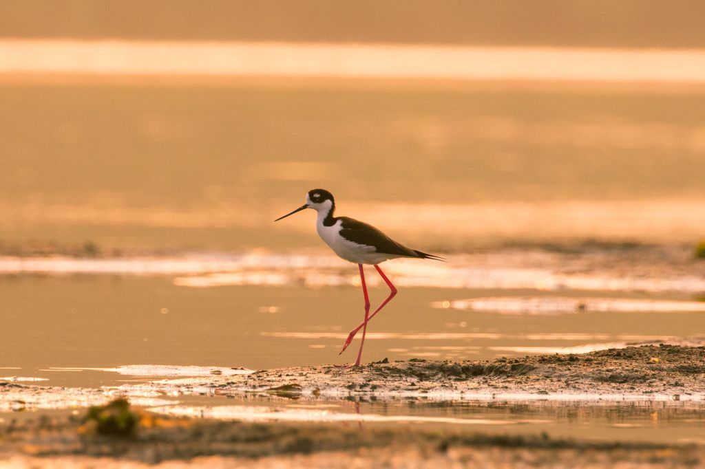 Black-necked Stilt at the Peje-Perrito Lagoon, Carate, Osa Peninsula