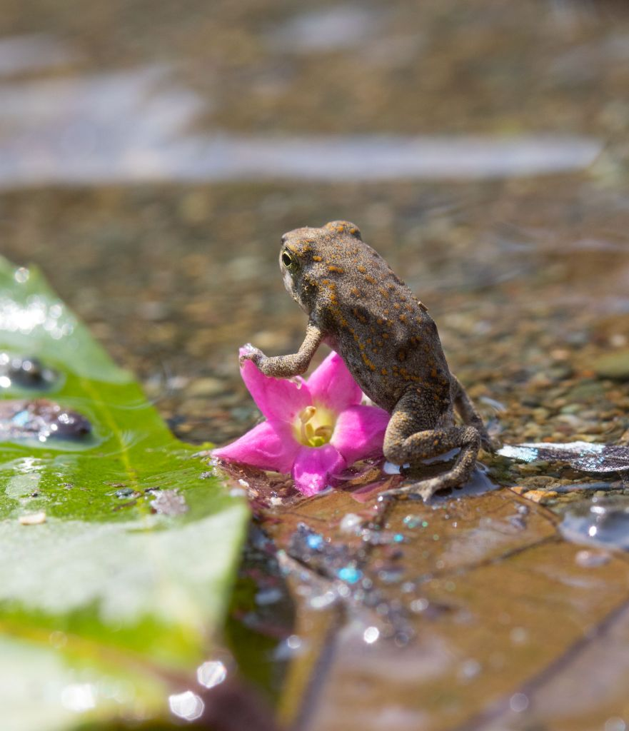 Osa Peninsula-common-toad-madrigal-river