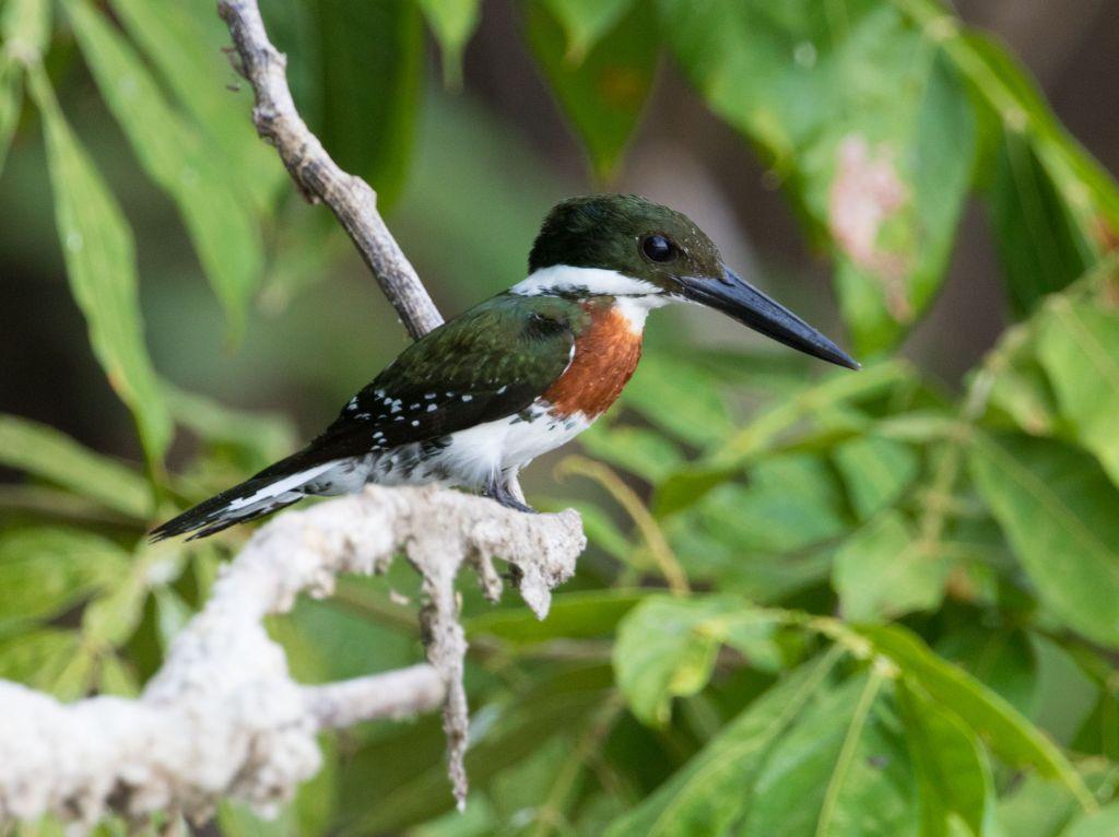 A Green Kingfisher on the Osa Peninsula