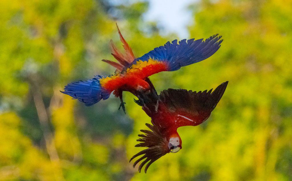 Scarlet Macaws Osa Peninsula