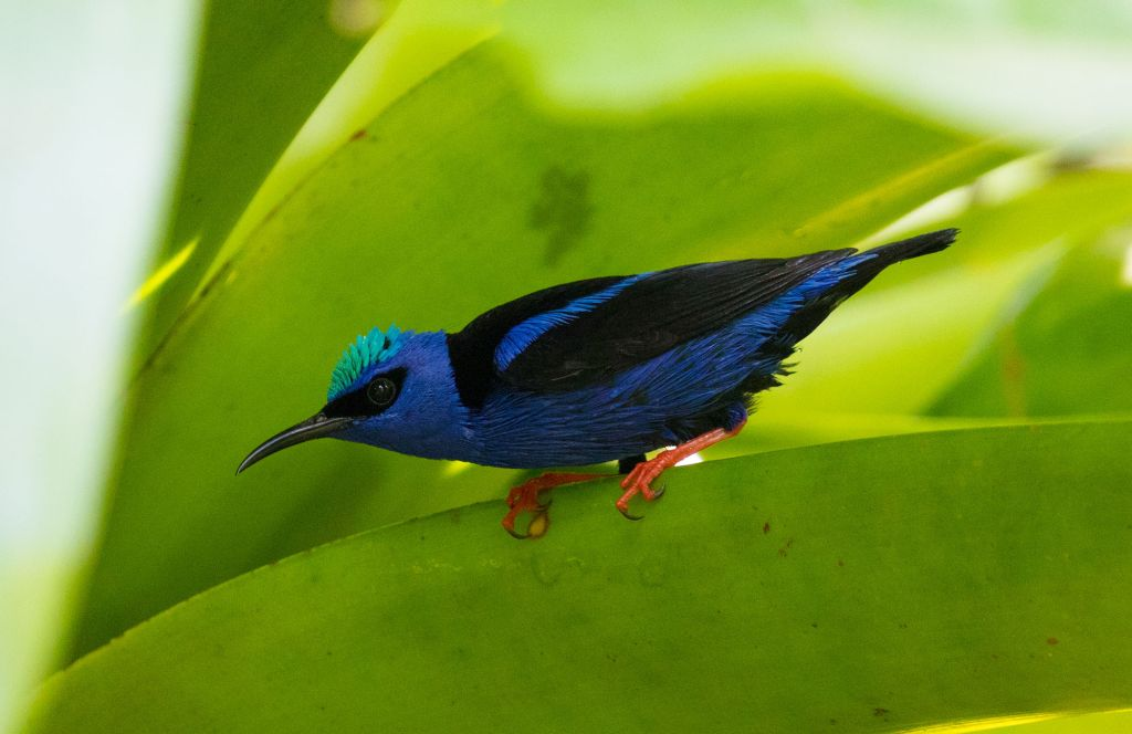 male Shining Honeycreeper Osa Peninsula