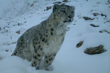 Pakistan-snow leopard