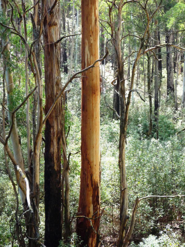Australia-Mountain Ash forest, Macedon Ranges
