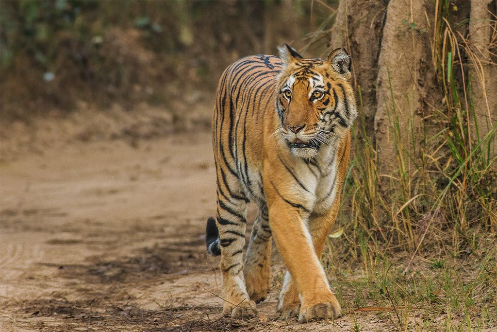 Bengal Tiger, Corbett, Uttarakhand. Photo: Soumyajit Nandy via Wikimedia Commons