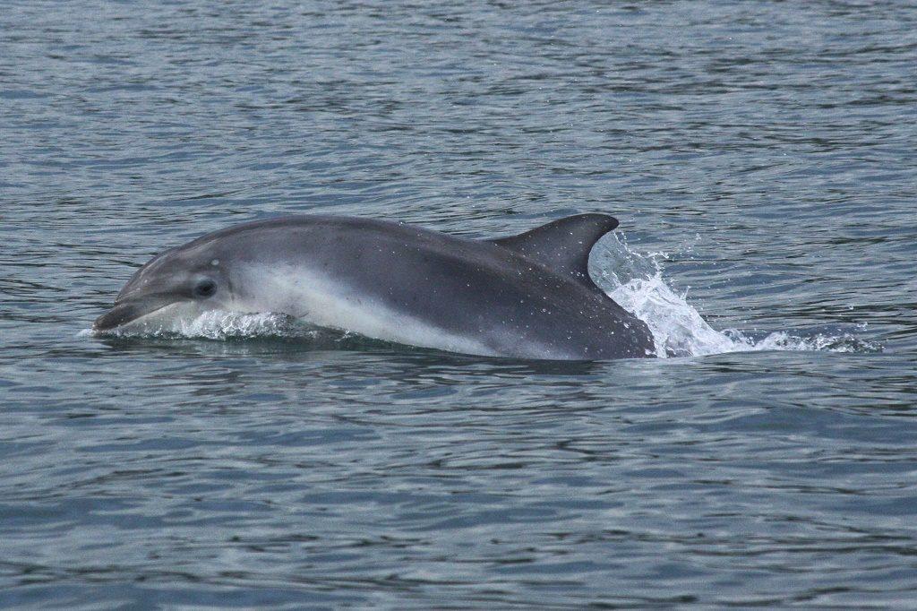 Bottlenose dolphin calf. Photo: Emily Cunningham
