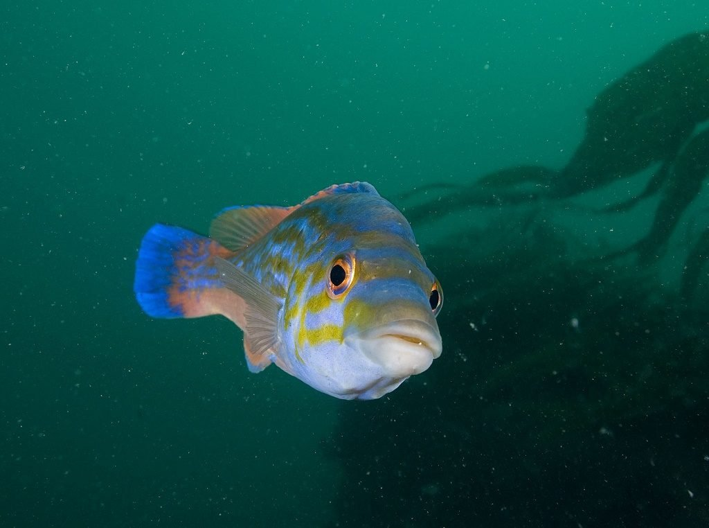 Cuckoo wrasse male, Plymouth. Photo: Paul Naylor