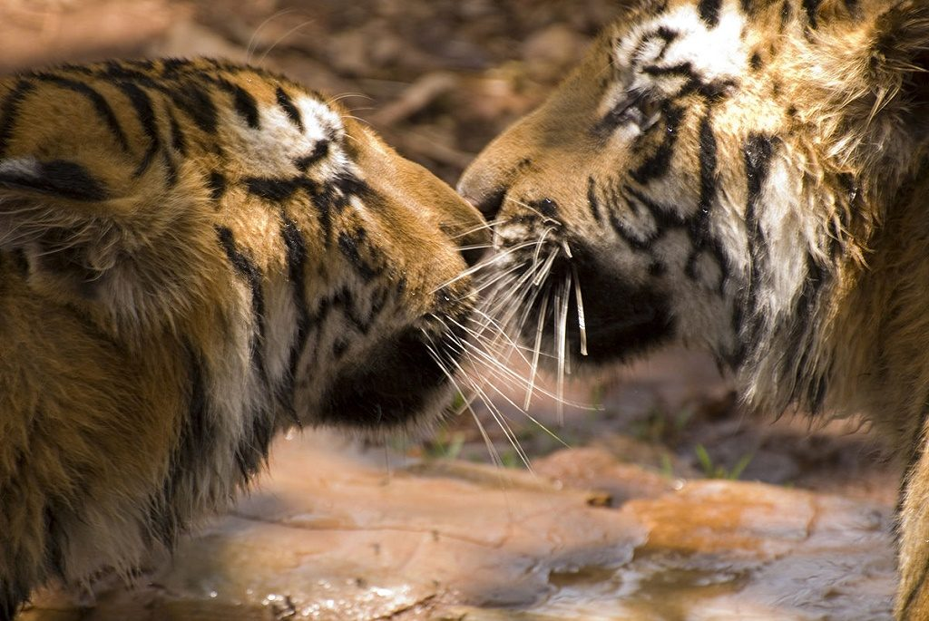 Paul Mannix via Wikimedia Commons. Bengal tigers - male and female - interacting national parks